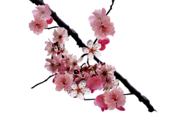 Cherry blossom branch png by DoloresMinette