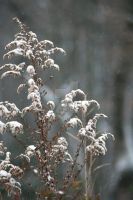 Winterweed 2 by exarobibliologist
