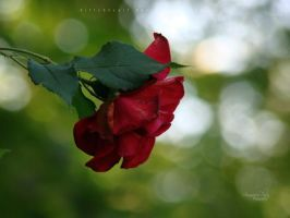 Rose for you by FlorinALF