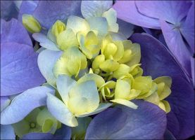 BLUE AND YELLOW HYDRANGEA by THOM-B-FOTO