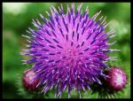 thistle by vollyy