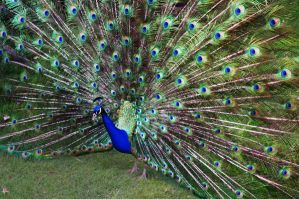 Peacock Fan by maximusmountain