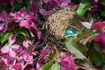 American Robin's Nest by onejumpjohnny