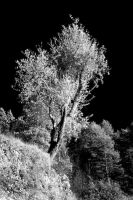 Olive Tree by LePianiste