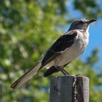 Mockingbirds perch by Anthony-aggro