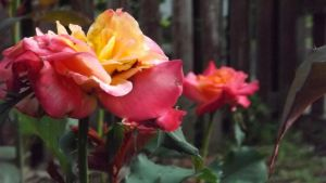Roses 094 by DarlingChristie