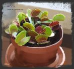PAD 003 Dionaea muscipula by Suzanne-Helmigh