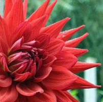 red dahlia by Bootcoot