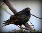 European Starling by JocelyneR