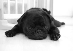 Black pug by IceForest