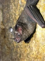 Short-tailed Bat by Teh-Pandacoon
