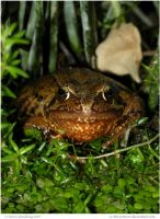 Fat Frog by In-the-picture