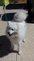 Japanese Spitz by Roses-and-Feathers