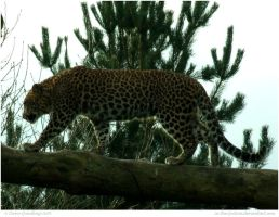 Leopard Up High by In-the-picture