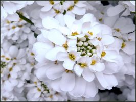 Candytuft by Lupsiberg