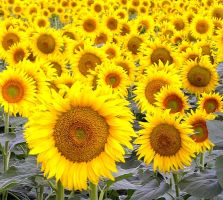 Sunflowers I by Jenvanw