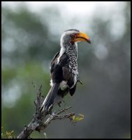 South Africa: Hornbill by CheshireFrown