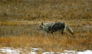 Yellowstone Coyote by Reborn-Memories