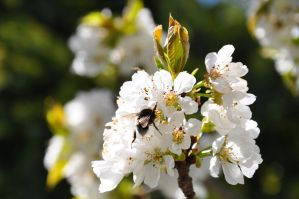 Bee in a cherry tree by Gwenabidule