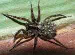 Wolf Spider with babies by duggiehoo