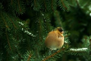 Vantage high up in the pine tree by steppeland