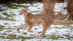 Cheetahs: Hunting In The Snow by spike83