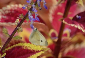 Cabbage White on Coleus by mtsofan