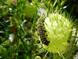 Monarch Caterpillar by frayzoid