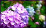 Hydrangea by TheDr0p