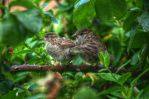 Rose bush sparrows HDR by teslaextreme