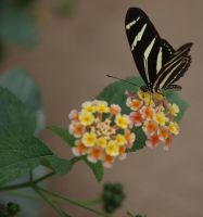 Butterfly by Claudia008