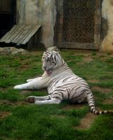 White Tiger at G.A. by Dracoart-Stock