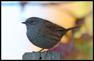 dunnock3 by 21711