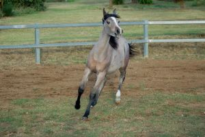 JA Arab yearling head up calling out trot by Chunga-Stock