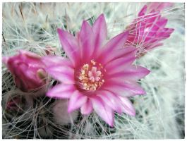 cacti 31 by miss-gardener