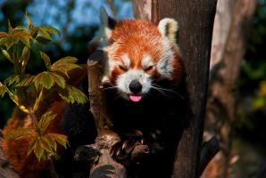 Red Panda IV by werram