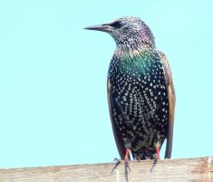 Starling by Mark-Allison