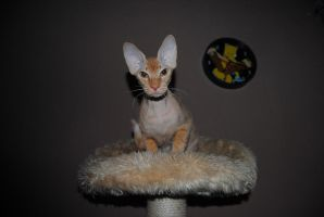 thePeterbald by Hiwi