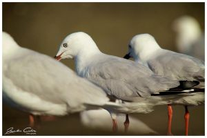 Seagulls three by jaydoncabe