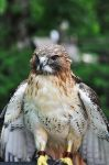 Red Tailed Hawk by teresastreasures72