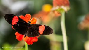 Postman Butterfly Heliconius melpomene by Jimmasterpieces