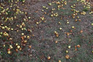 Stray Apples II by panthera-lee