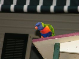 rainbow lorikeet 3 by sealkisses