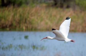 American White Ibis by flowerhippie22