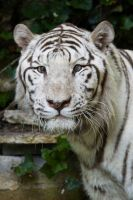 4452 - White tiger by Jay-Co