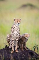 Cheeta with a cub 2 by 00Tiger00