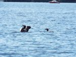 Loon couple by noneofurbussiness