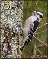 Downy Woodpecker by sunflowervlg