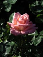 Pink rose by Nipntuck3