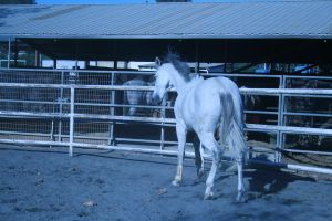 gray horse stock 13 by xbr0kendevotion